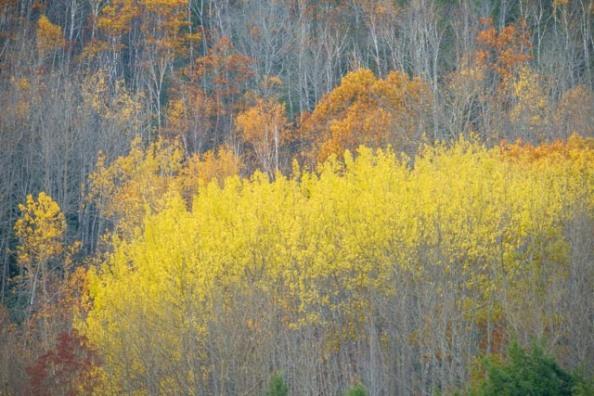 birches-2